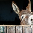 Funny Donkey looks out of his Stable