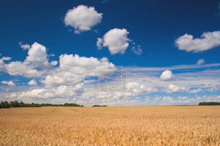 Photo for Beautiful field of ripe wheat under blue cloudy sky - Royalty Free Image