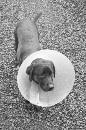 Dog standing with cone