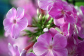Růžový květ