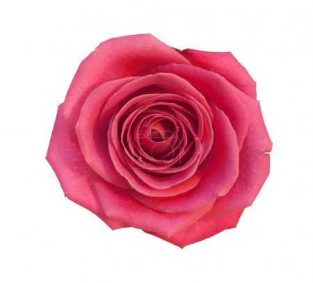 Rose isolated