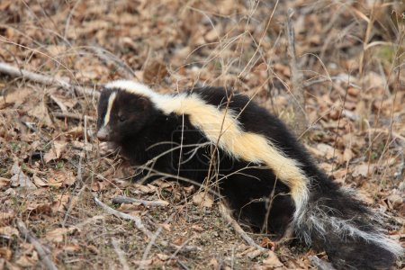 Young Skunk in the Grass Saskatchewan Canada