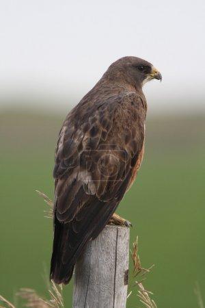 Photo pour Swainson's Hawk perché sur le poteau de clôture - image libre de droit