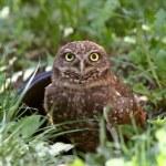 Burrowing Owl near culvert...