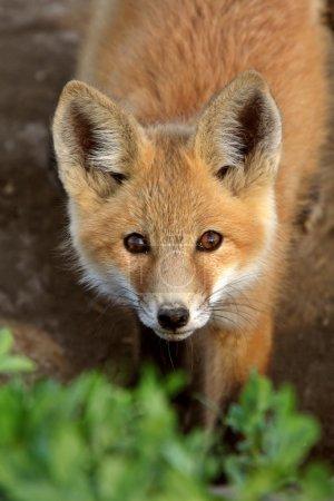Photo pour Renard roux chiot en saskatchewan - image libre de droit