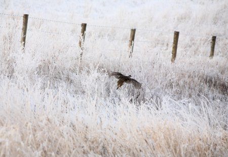 Sharp tailed Grouse flying along frost covered dit...