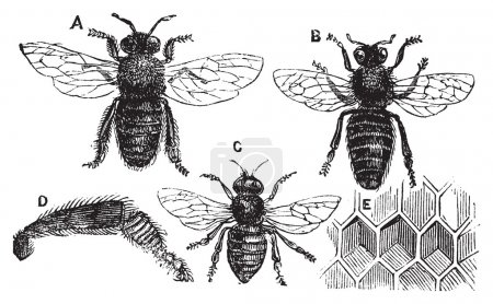 Illustration for A. Male - B. Female - C. Neutral - D. Rear leg - E. Honeycomb or honey cell. Old vintage illustration from Trousset Encyclopedia 1886 - 1891, live traced vector - Royalty Free Image