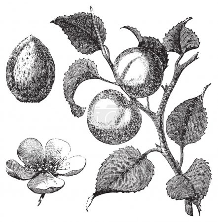 Illustration for Vintage illustration of an apricot tree, also showing the apricot kernel and flower. Vector live trace from a scan of an engraving from Trousset Encyclopedia, 1 - Royalty Free Image