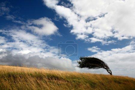 Photo pour Un arbre sur un champ déformé par le vent - image libre de droit