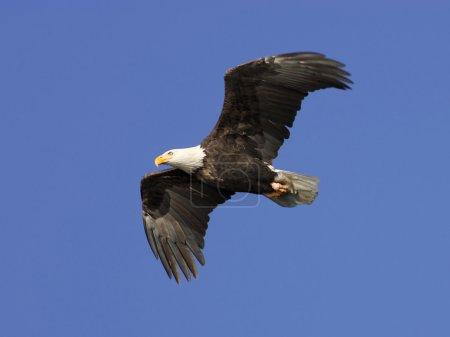 Photo pour Un pygargue à tête blanche américain en vol dans le ciel bleu vif . - image libre de droit