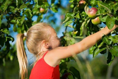 A little girl picking an apple
