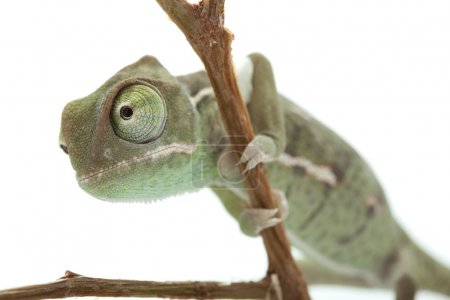 Green baby chameleon isolated on white background