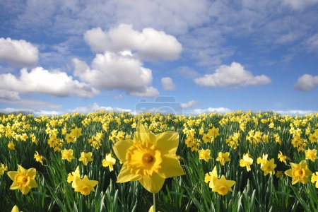 Yellow daffodils field