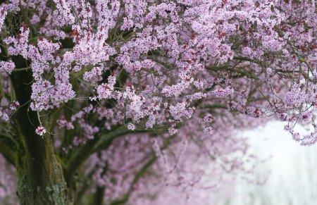 Foto de Colores rosados para árboles florecientes - Imagen libre de derechos