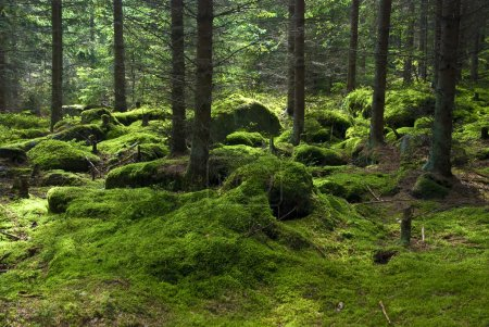 Photo pour La forêt primitive au sol mousseux - image libre de droit