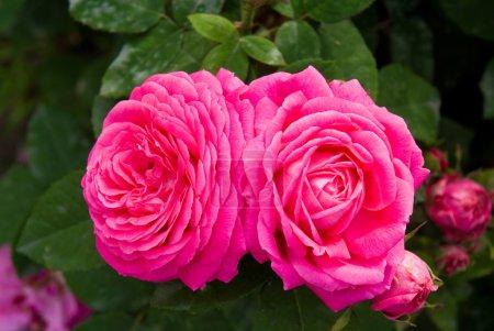 Twix pink roses