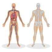 Human Anatomy of man