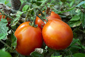 Growing red tomatoes in the vegetable garden
