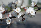 Branch of blooming apple tree
