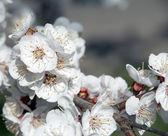 Spring apple blossoms closeup