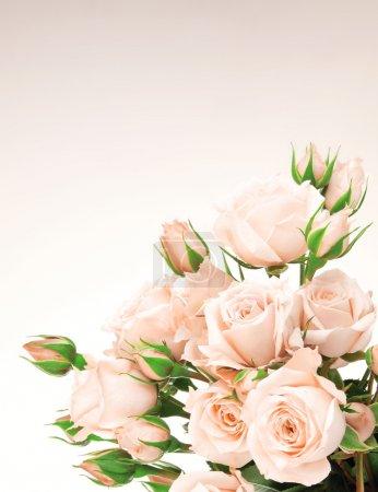 Photo pour Bordure de roses roses fraîches, belles fleurs isolées - image libre de droit