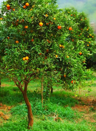 Photo pour Mûr mandarinier qui poussent dans la ferme, jardin, l'industrie agricole - image libre de droit