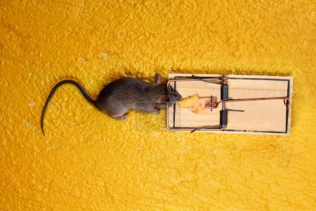 Dead Mouse in cheese trap