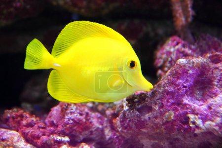 Yellow Hawaiian Tang Sailfin Surgeonfish
