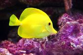 Yellow Hawaiian Tang Sailfin Surgeonfish