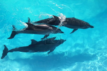 Three dolphins high angle view turquoise water
