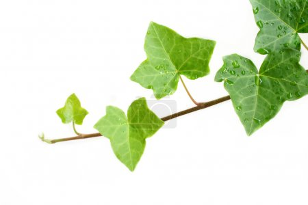 Photo for An ivy plant against a white background. Room for your text. - Royalty Free Image