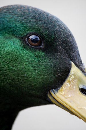 Close up view of a beautiful mallard duck with dro...
