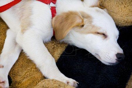 Domestic dog sleeping