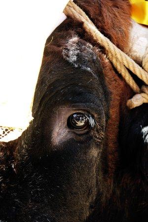 Eye detail of bull