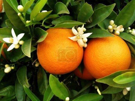 Two oranges on orange tree