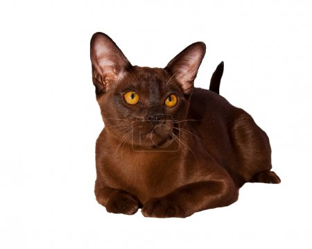Purebred Burmese cat isolated on white background
