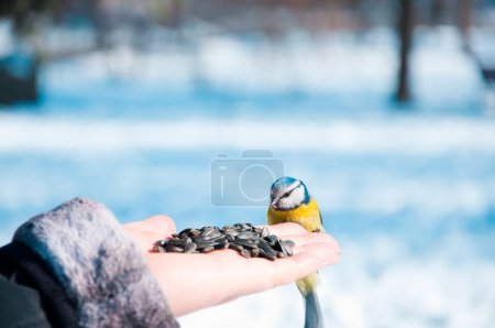 Tomtit on a hand