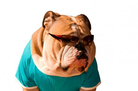 Cool English Bulldog in glasses isolated