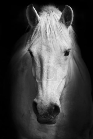 Photo for This black and white artistic animal portrait is a pat of white horse's details session. - Royalty Free Image