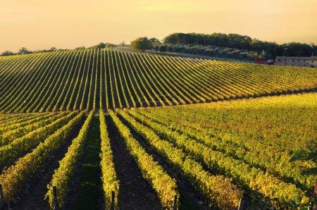 vignoble de chianti région, Toscane, Italie