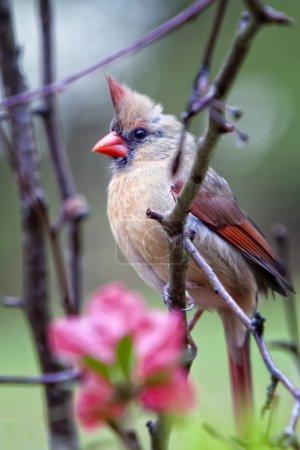 Photo pour Cardinal du Nord femelle dans un arbre nu avec un accent doux Azalea fleurir au premier plan - image libre de droit