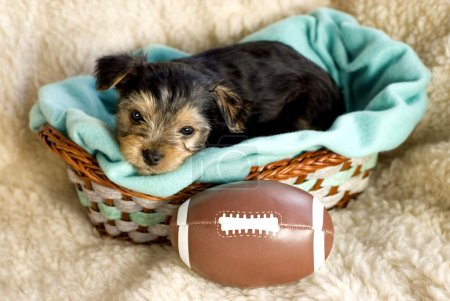 Male Yorkshire Terrier Puppy with football