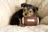 Yorkshire Terrier Puppy with Toy Football