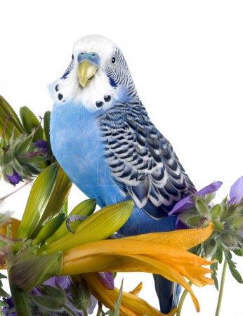 Photo pour Le perroquet ondulé bleu est assis sur une fleur (isolé sur un fond blanc ) - image libre de droit
