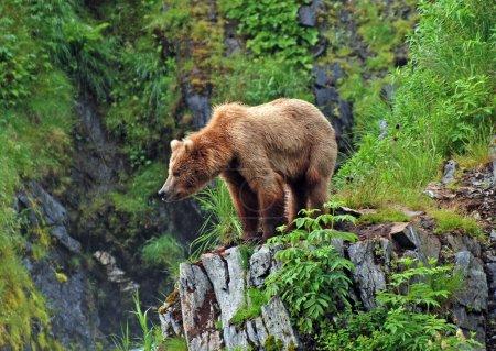 Photo pour Cette photo d'un grizzli est prise près du lac Fraser sur l'île Kodiak en Alaska - image libre de droit