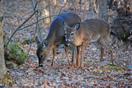 Photo for These deer were feeding in the wilderness in the Smoky Mountains in North Carolina - Royalty Free Image