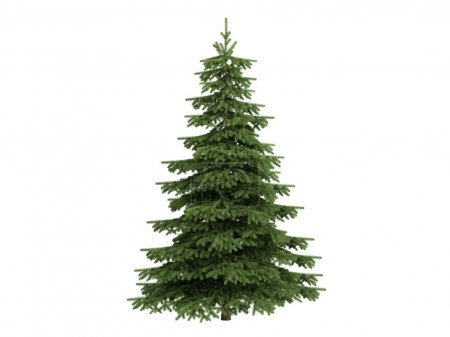 Photo for Spruce or latin Picea isolated on white background - Royalty Free Image